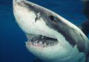 Cá mập cắn chết người đàn ông lướt sóng ở Úc