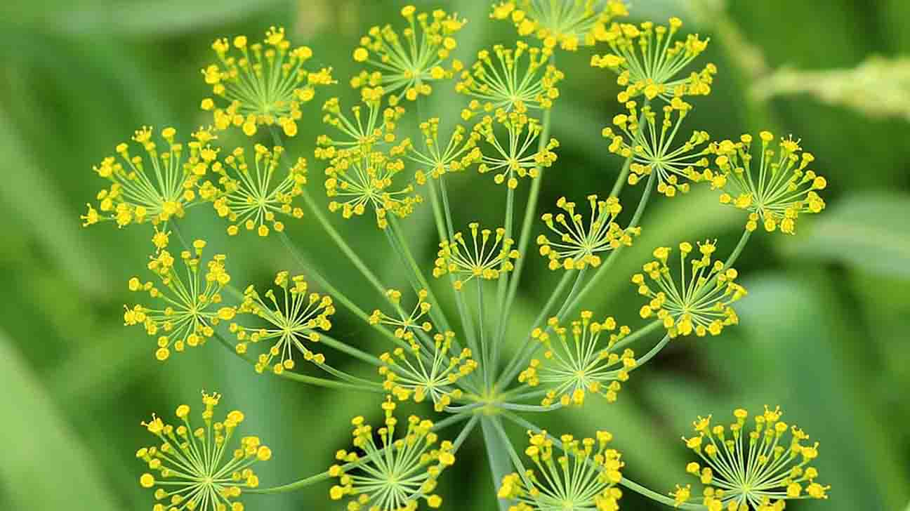 Asafoetida: Benefits, Side Effects & How To Use