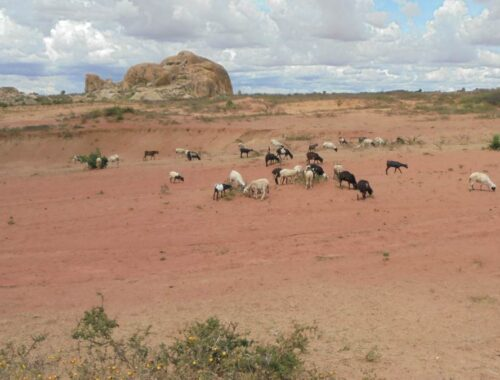 Goat graze on dry grasslands in the Singida Solar Project area.
