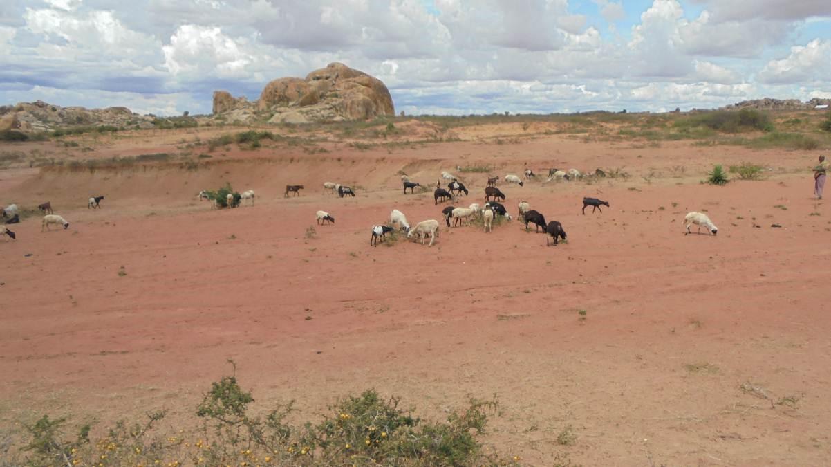 Goat graze on dry grasslands in the Singida Solar Project area.