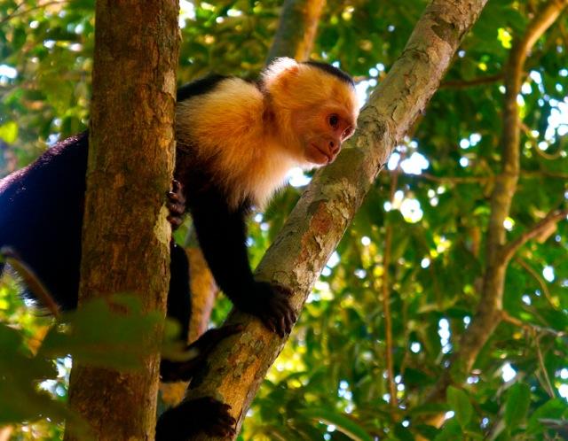 monkeys manuel antonio park