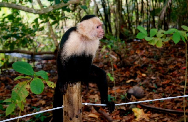 monkeys manuel antonio national park