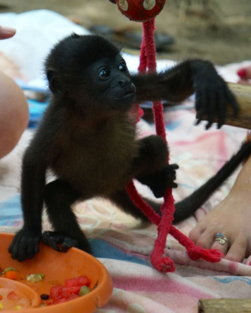 A baby monkey plays at the Jaguar Rescue Center