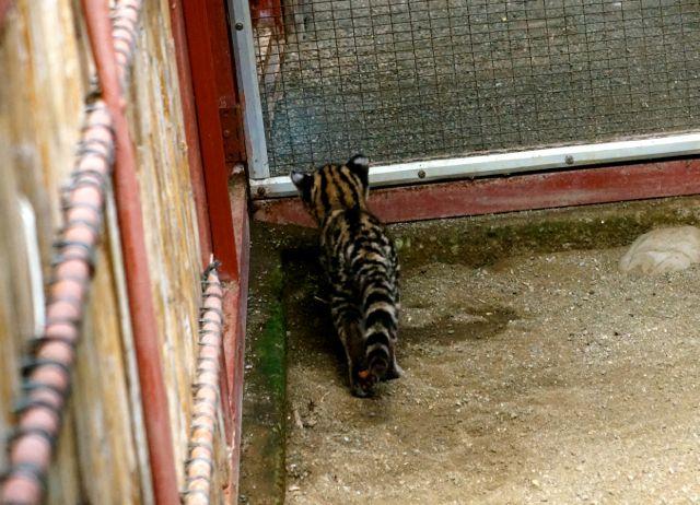 A cute cat of Costa Rica at the Jaguar Rescue Center