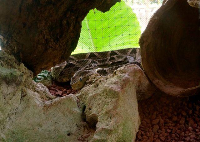 A poisonous snake at the Jaguar Rescue Center
