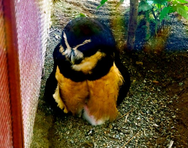An owl sits on a chick at the Jaguar Rescue center