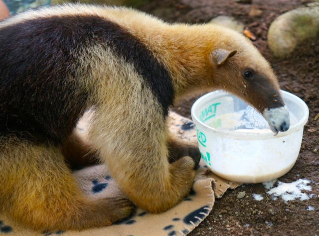 Can you handle the cuteness of the anteater at the Jaguar Rescue Center