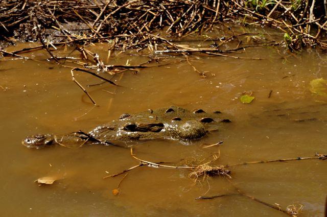 Costa Rica Crocodile on jose's crocodile river tour