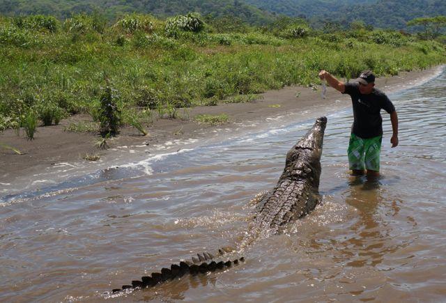 Crocodile Feeding at jose's crocodile river tour