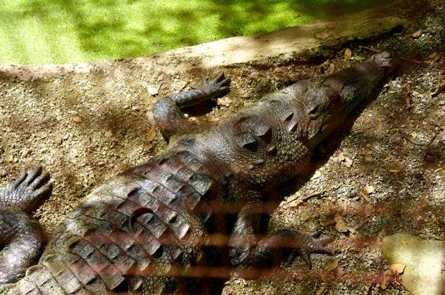 jaguar rescue center crocodile