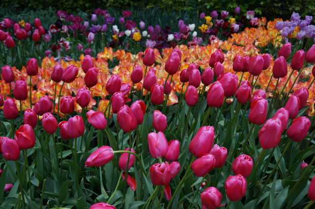 Things to do in Amsterdam include visiting the tulips.