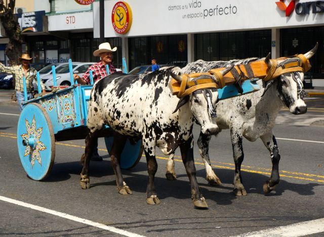 san jose oxcart parade- blue cart