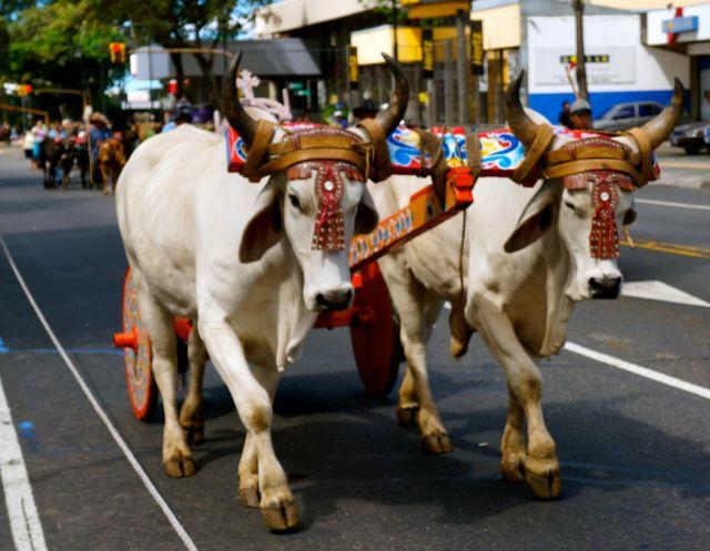 san jose oxcart parade- bulls