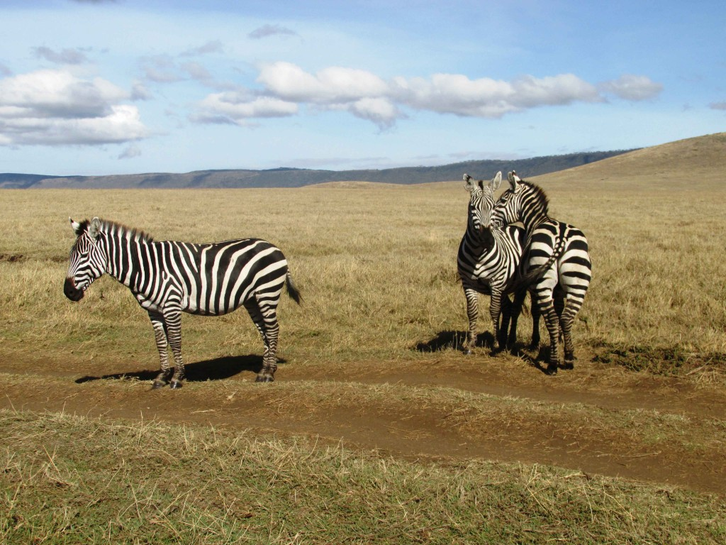 solo travel in Tanzania Zebra