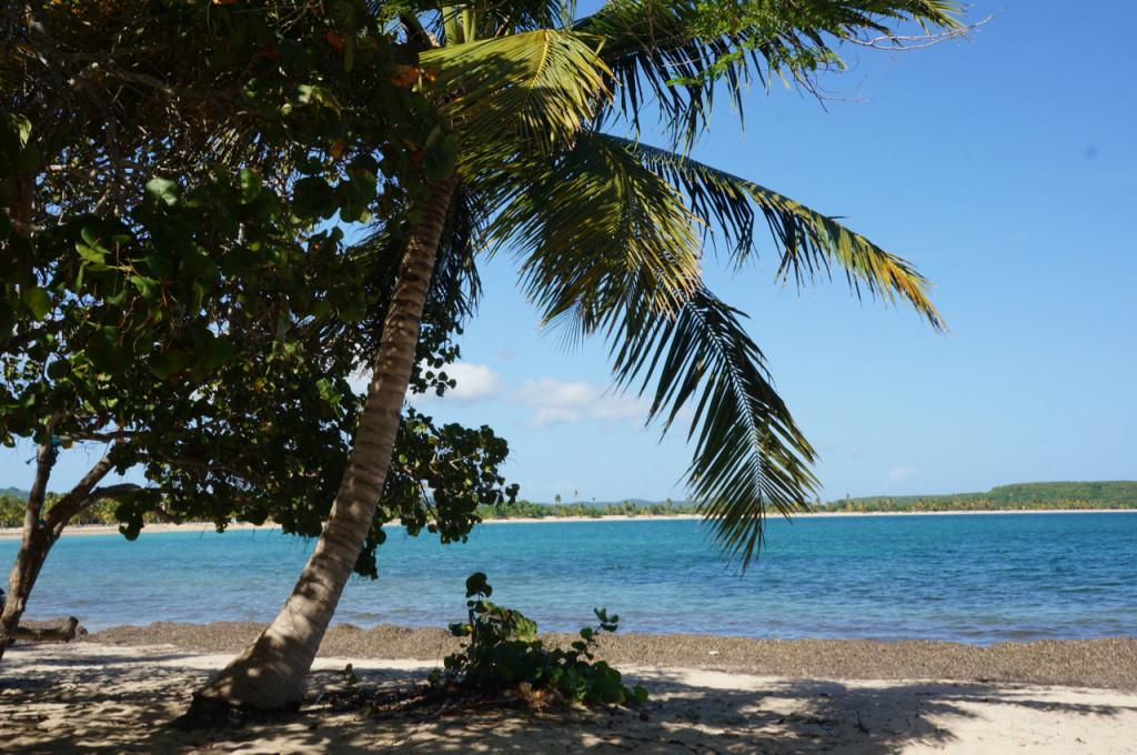 vieques island palm trees
