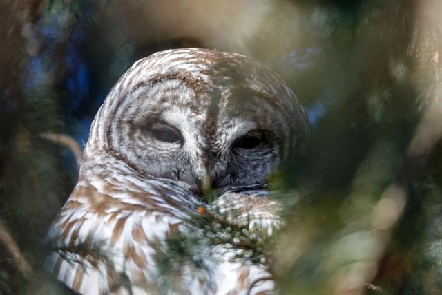 Owl Hope