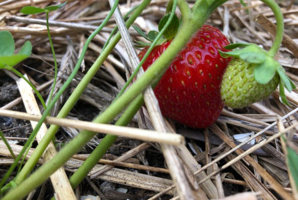 Ripe summer strawberry with a green young berry