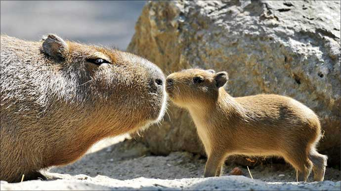 Mother Capivara with young.