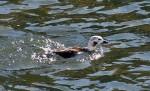 Long-tailed Duck.  (D. Ghiglieri)