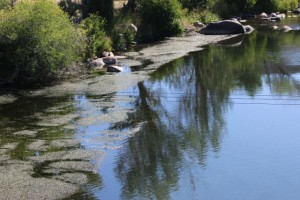 Eurasian water-milfoil, an exotic invasive plant has spread from Lake Tahoe and down the length of the Truckee River