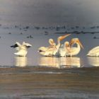 American White Pelicans at Pyramid Lake. Pyramid Lake has fallen more than 25 feet since the drought began in 2000.