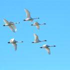 Tundra Swans fly over the Truckee River at Pyramid Lake January 1, 2017.