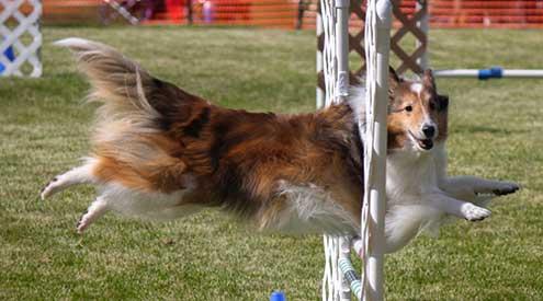 A Collie Making a Jump