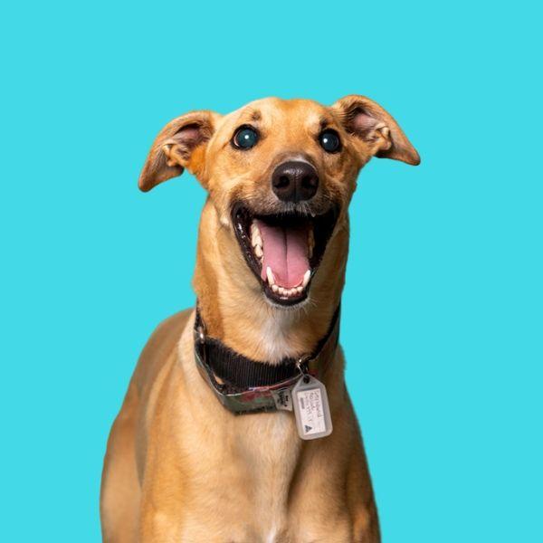 smiling greyhound