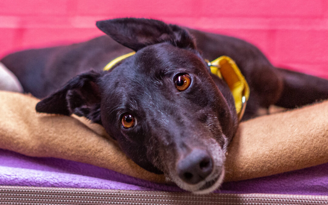 Petbarn Sydney teams raise $45,000 for Greyhound Rescue