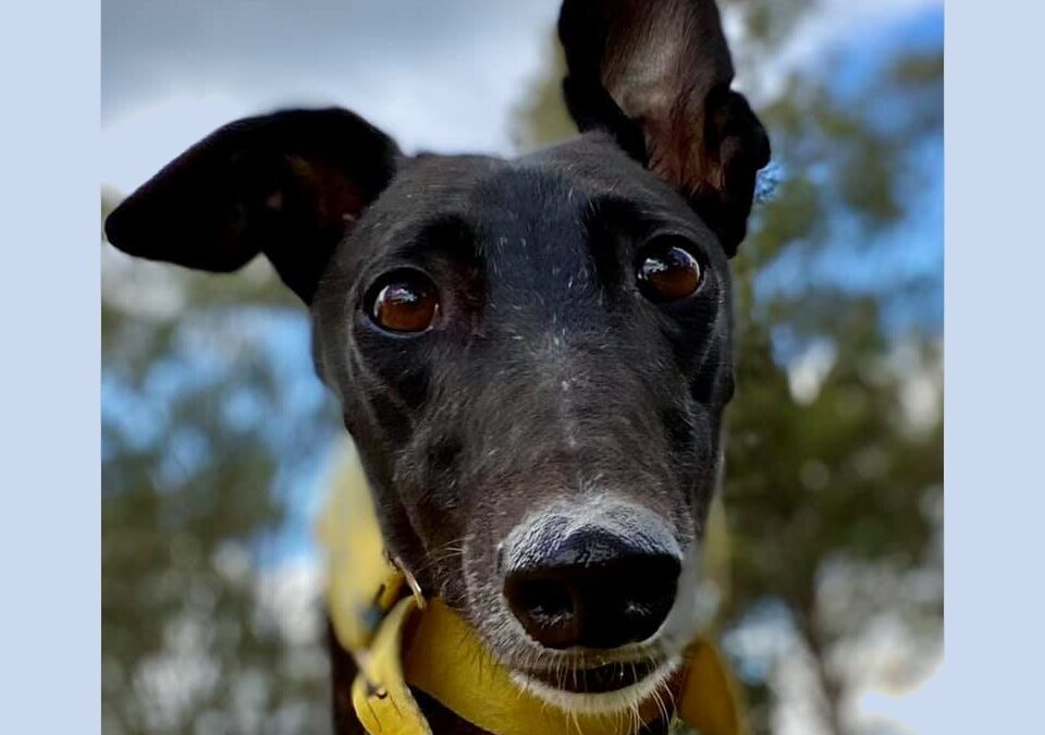 Seven ways that you can help Greyhound Rescue