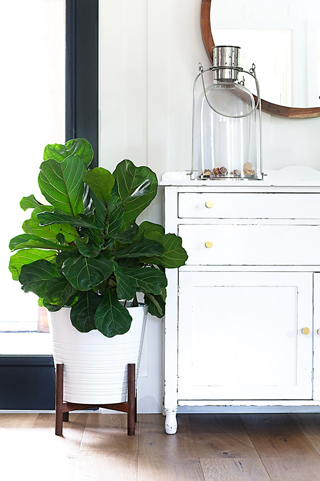 fiddle leaf fig in white pot next to antique white buffet