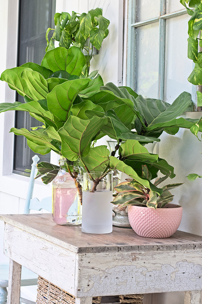 baby fiddle leaf fig in vase on farmhouse table