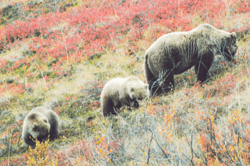 Grizzly_Bear_foraging-Edit
