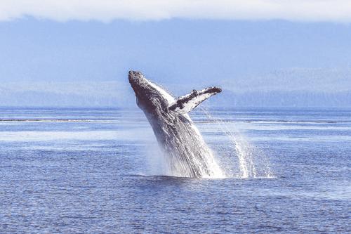humpback-whale-436120_1920-Edit