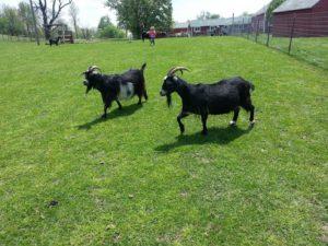 goats-at-sasha