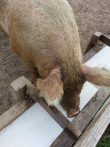 pig-at-sasha