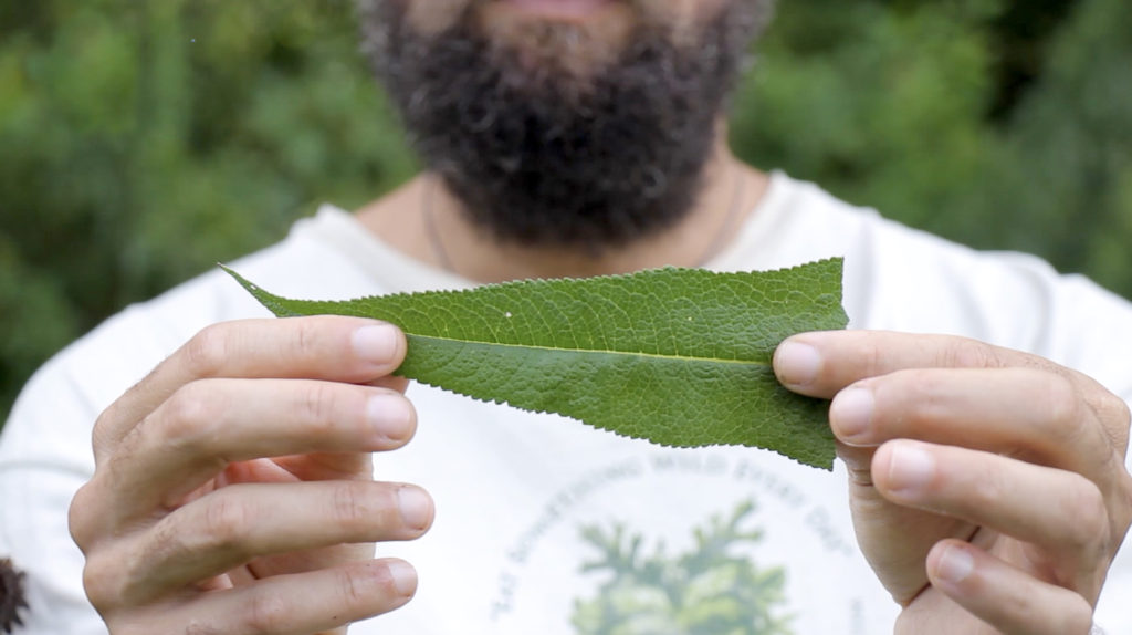 Have you ever tried foraging wild edibles? There are some very surprising health benefits of foraging! Use these tips for beginners to get started and have fun connecting with nature and picking your own wild edibles. #foraging #wildedibles #naturalmedicine #foodasmedicine #holistichealth #naturalliving #healthyliving
