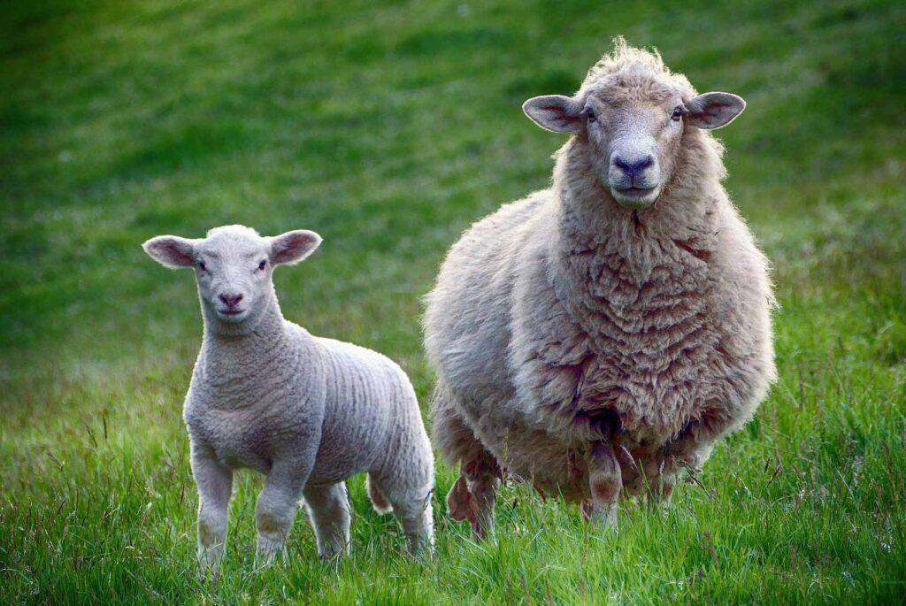 Sheep Virtual Reality Experiences