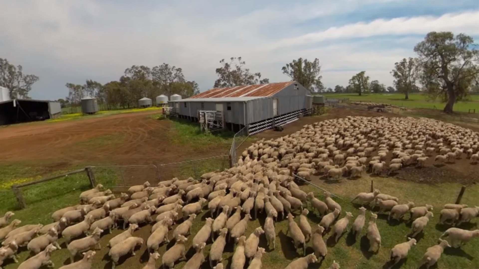 Sheep Virtual Reality