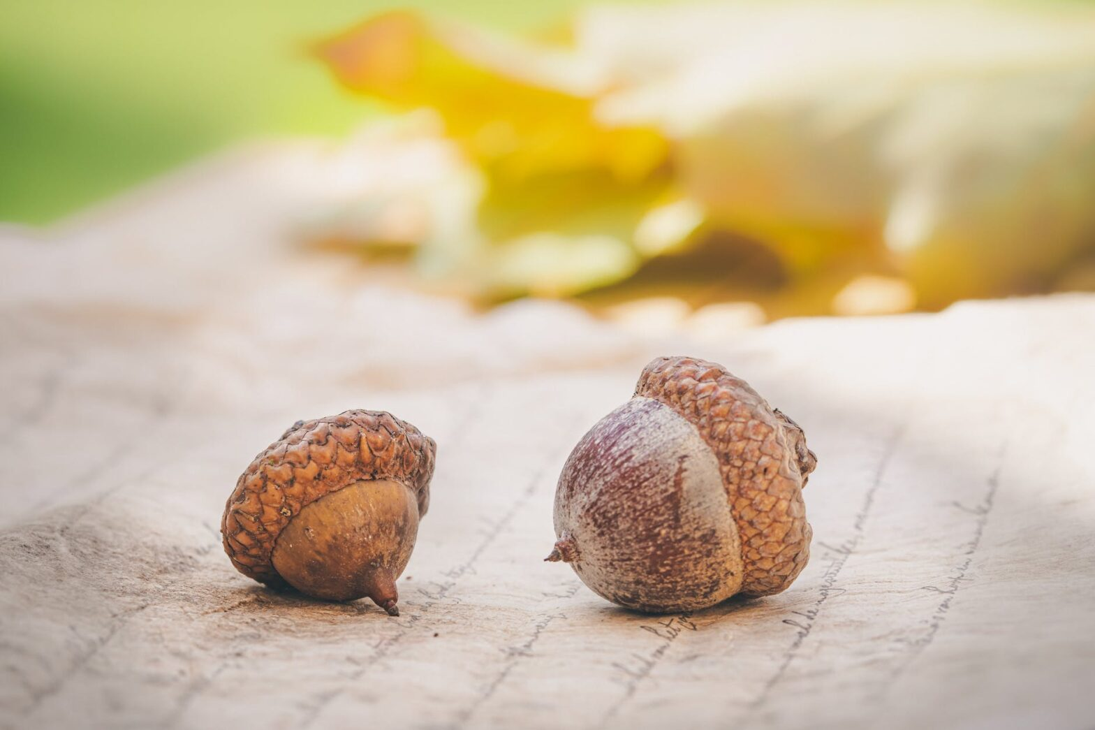 close up photo of two acorns