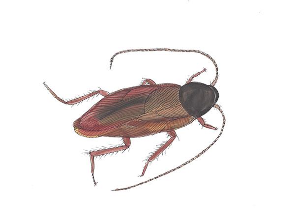 Smokybrown Cockroach