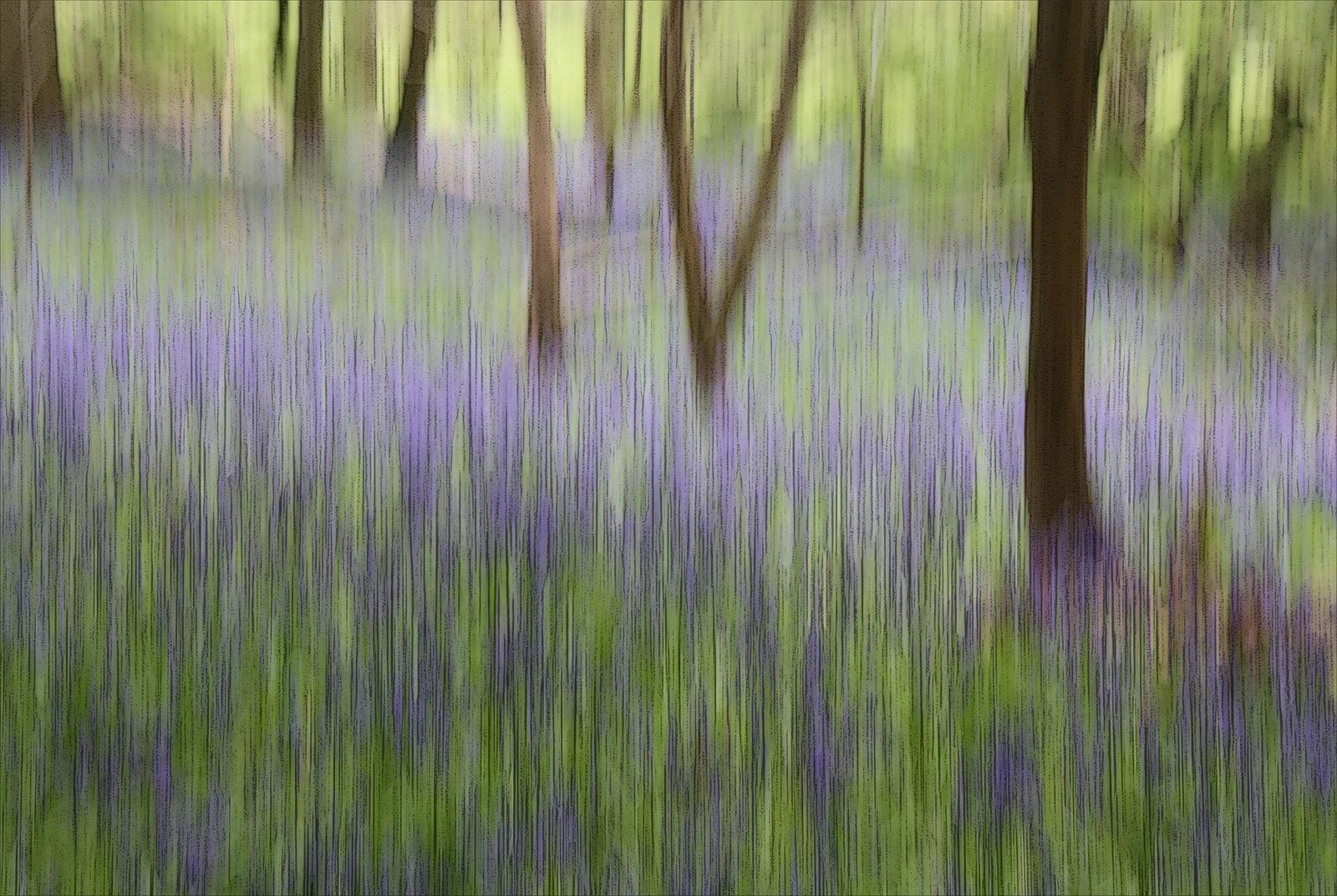 Bluebells-Langley-woods.jpg