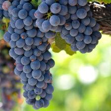 Organic Grape Seed, Organic Grape Skin Glycerite