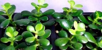 Una planta que atrae la riqueza y la energía positiva a tu hogar