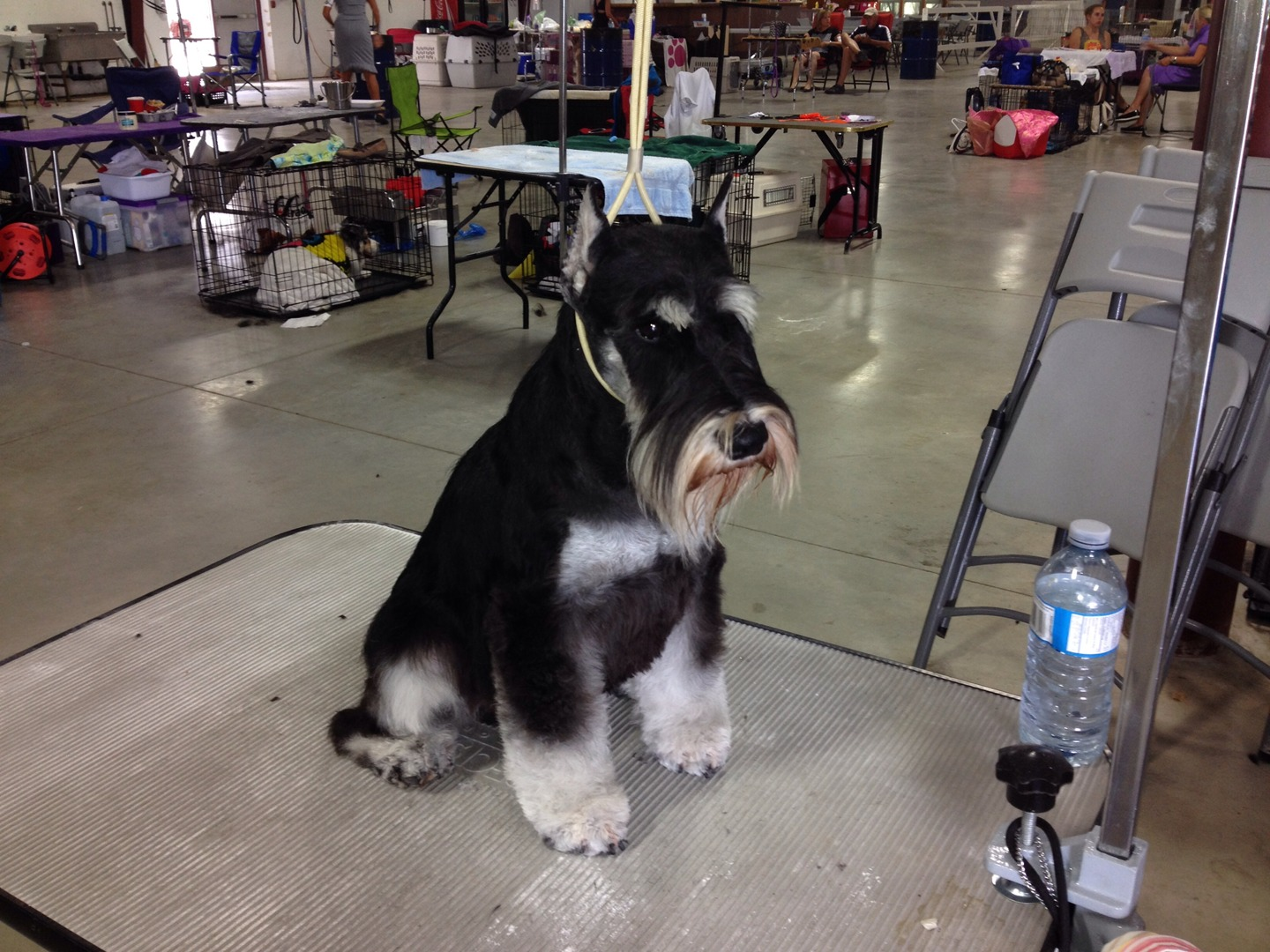 Griff getting ready for Lindsay dog show.