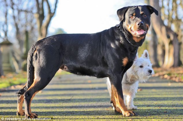 This Tiny Terrier Got A Rottweiler Pregnant. Unlikely Couple But Their Puppies Are Adorable!