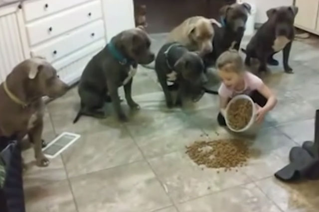 Little Girl Is The Tiny Boss Of Her 6 Pit Bulls And It Is Absolutely Adorable
