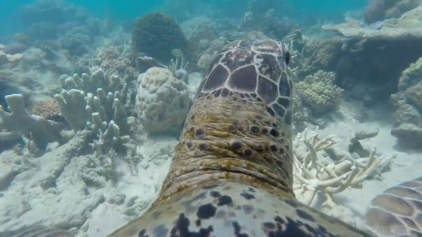World Wildlife Foundation Captured This AWESOME Footage By Placing A GoPro On A Turtle's Back!