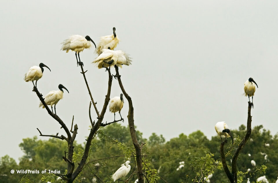 Gudavi Bird Sanctuary, [The WildTrails of India app is the best way to get all the details about Indian wildlife sanctuaries (best travel times, safari details, animal sightings, forest accommodations pairing, wildlife related activities, prices, etc). Learn more about WildTrails of India here.]