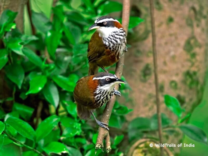 """Thattekkad Bird Sanctuary. WildTrails of India - """"One Stop Destination for all Indian Wildlife Enthusiasts"""""""